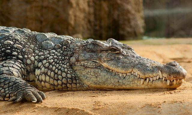 Nile Crocodile, Crocodylus Niloticus, Zoo