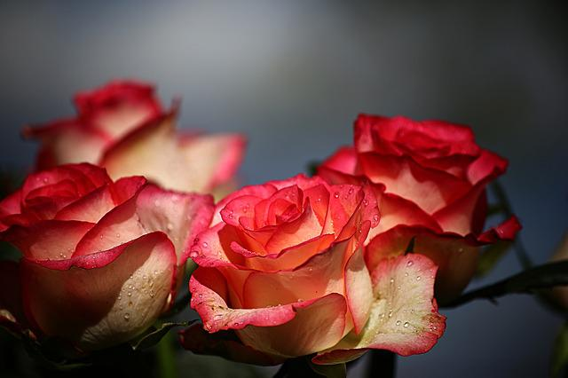 Flower, No One, Rose, Nature