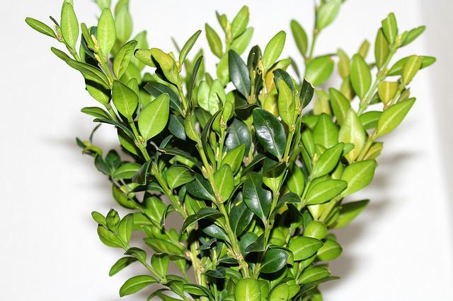 Boxwood, Leaf, Plant, Nature, No One, Green