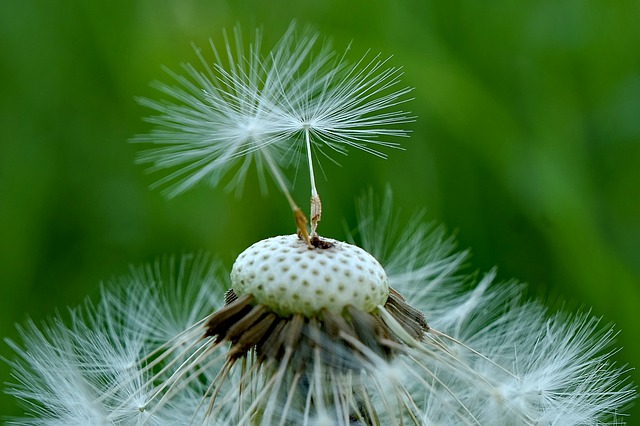 Nature, No One, Plant, Seed, Summer, Closeup, Fluffy