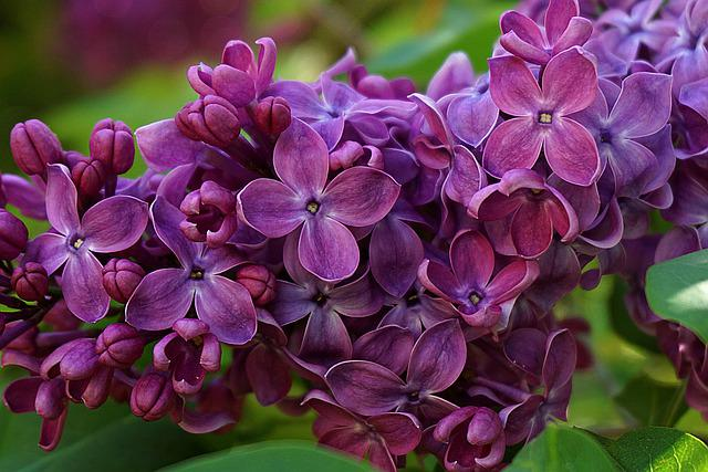 Lilac Flower, No Purple, Garden, Flowers, Spring