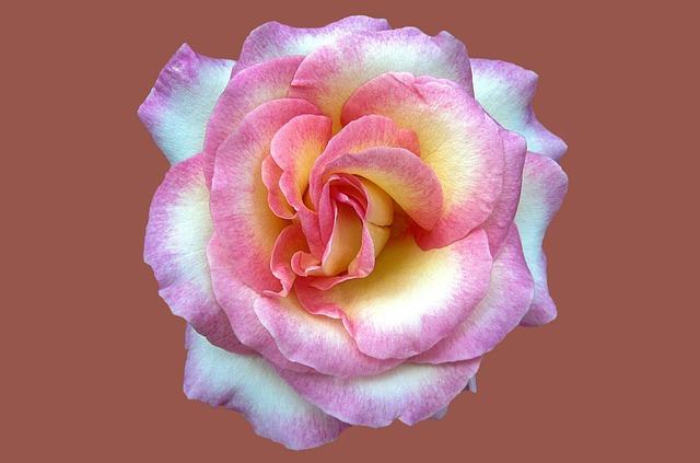 Noble Rose Cindy, Rosengarten Bad Kissingen