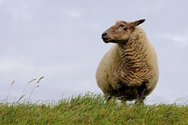 Sheep, North Sea, Curiosity, Deichschaf