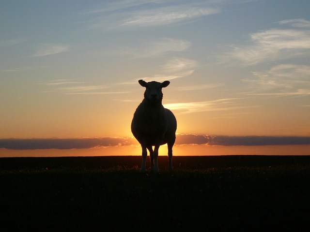Sunset, Sheep, Dike, Nordfriesland, North Sea