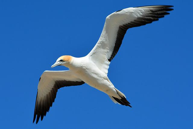 Northern Gannet, Animal World, Bird, Fly, Freedom