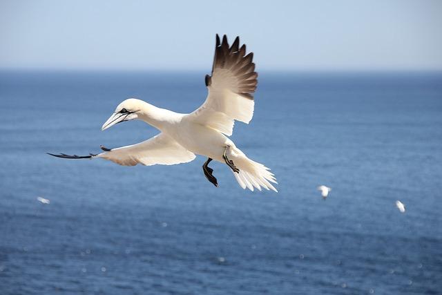 Bird, Sea, Flying, Northern Gannet