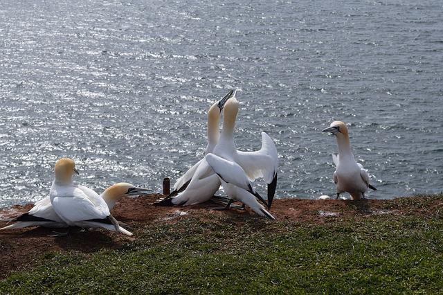 Northern Gannet, Helgoland, Bird, North Sea, Sea Island