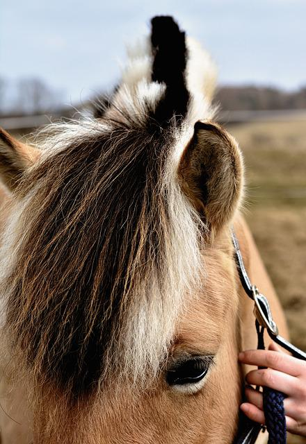Horse, Mane, Norwegian Fjord Horse, Halter, Keep