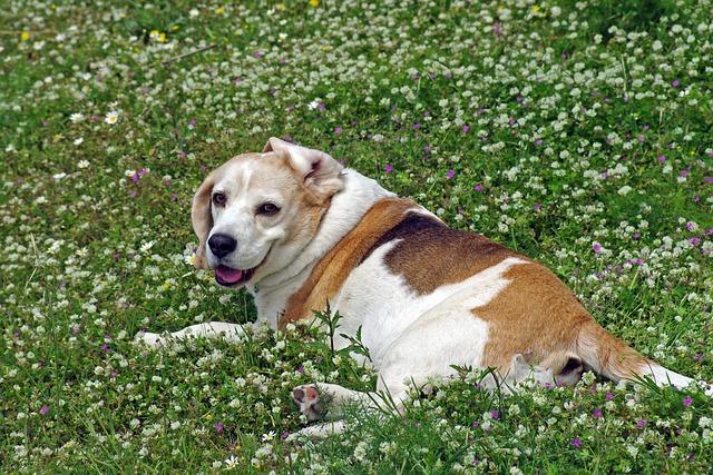 Beagle, Dog, Snuff, Hound, Friend, Nose, Ears