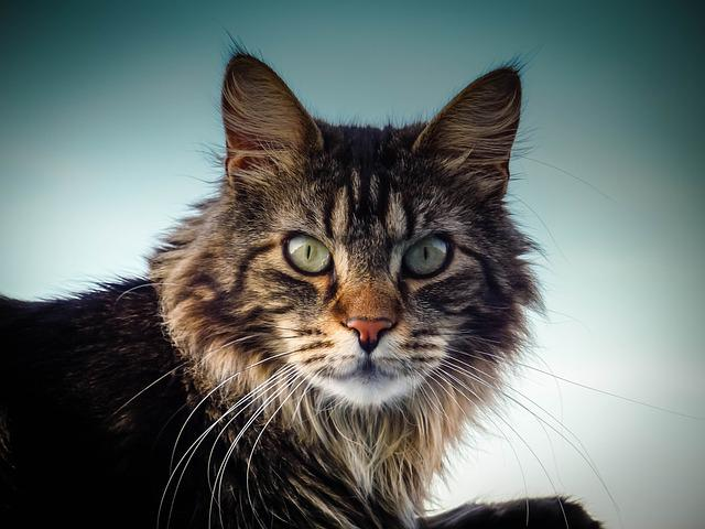Maine Coon Cat, Cat, Eyes, Nose, View, Close Up