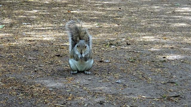 Squirrel, Park, Nottingham, Highfields, Grey, Red