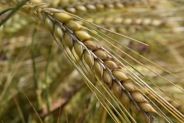 Barley, Nourishing Barley, Ear, Cornfield, Cereals
