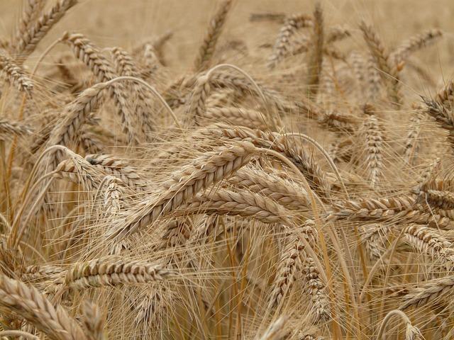 Rye, Rye Field, Nourishing Rye, Wheat, Spike
