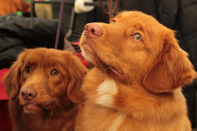 Dogshow, Tollers, Nova Scotia Duck Tolling Retriever