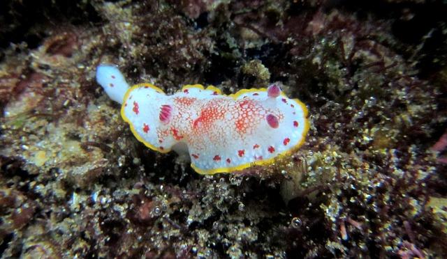Nudibranch, Snorkeling, Diving, Scuba, Sea, Marine