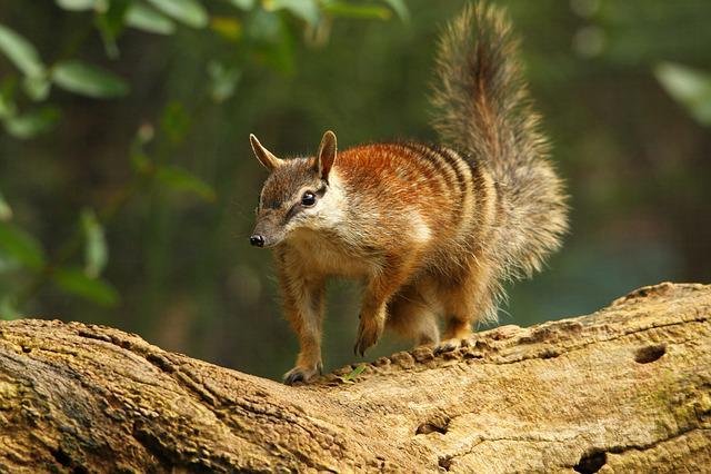 Numbat, Western Australia, Perth, Animals, Cute, Tree