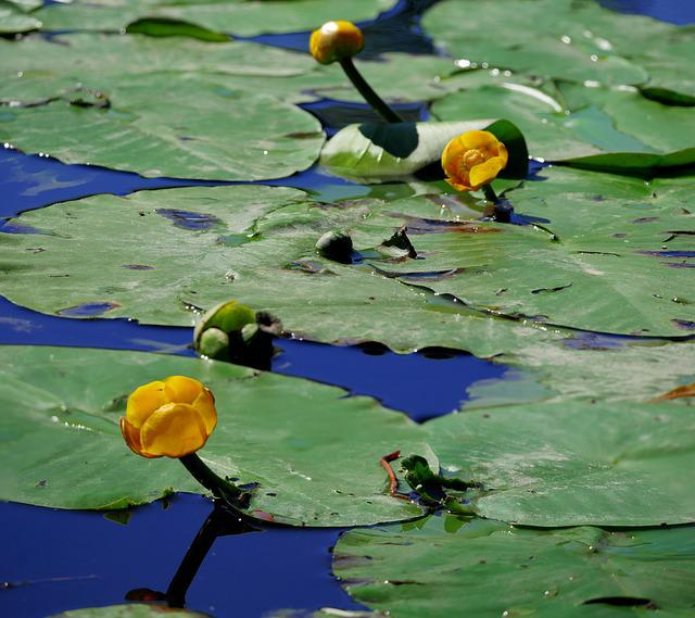 Nuphar Lutea, Water Lilies, Aquatic Plant, Yellow