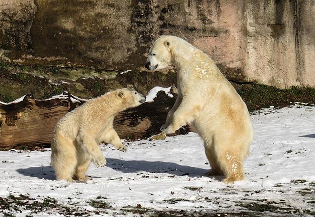 Polar Bear, Play, Fight, Predator, Young, Nuremberg