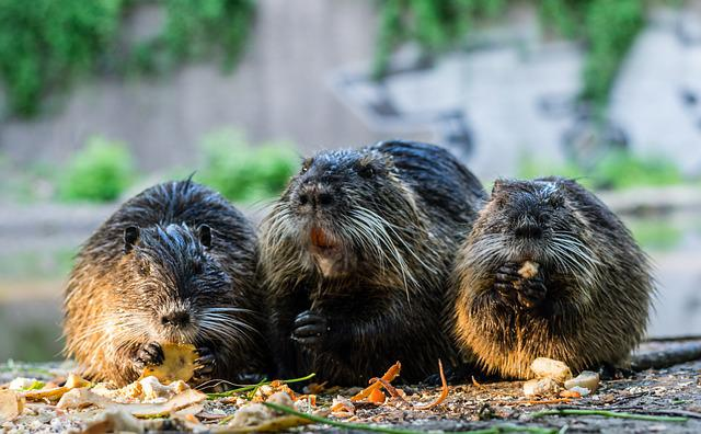 Hall, Halle Germany, Nutrias, Animals, Nutria Rat