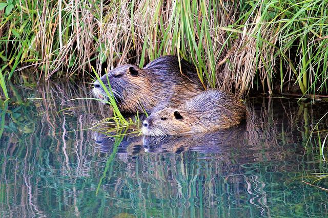 Nutria, Animal World, Nature, Waters, Animal, Mammal