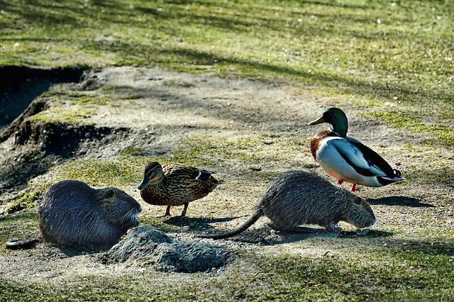 Nature, Nutrias, Mallards, Neighbors, Animal