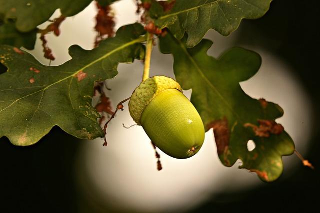 Acorn, Nut, Oak Tree, Tannin, Food, Nutrition, Green