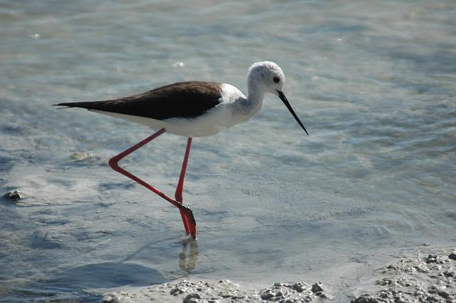 Bird Stilt, Nutrition, Swamp