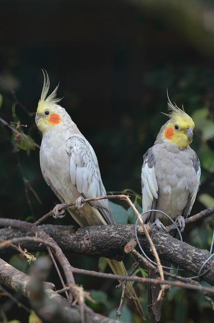 Nymph Parakeets, Dwarf Parrot, Parakeets, Birds, Zoo
