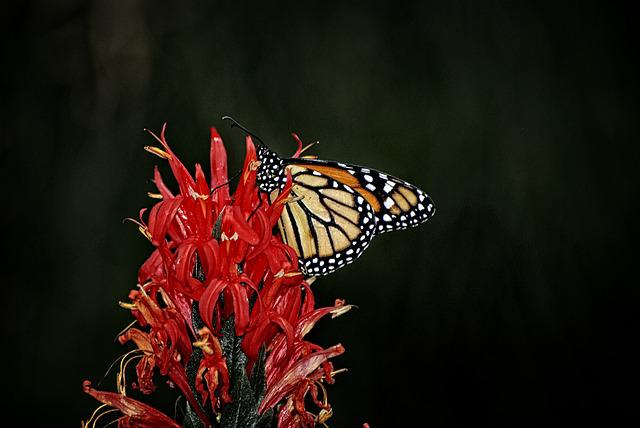 Monarch, Butterfly, Nymphalidae, Wings, Fly, Insect