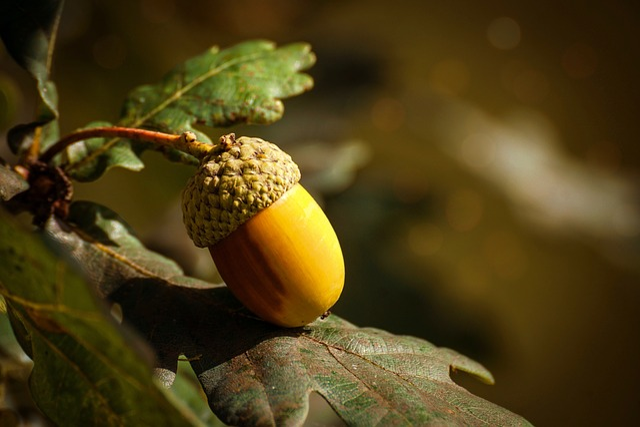Acorn, Fruit, Autumn, Oak, Oak Fruit, Tree Fruit