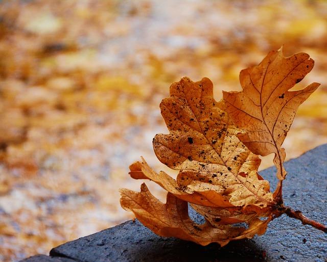 Fall Foliage, Oak Leaf, Emerge, Autumn Colours