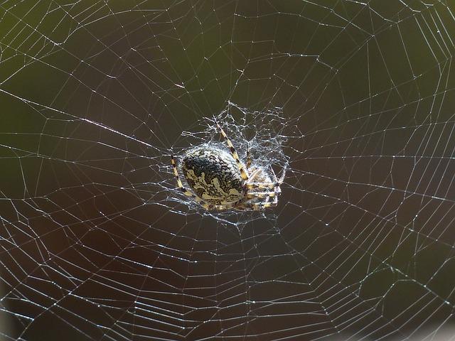 Spider, Cobweb, Oakleaf Orb Weavers