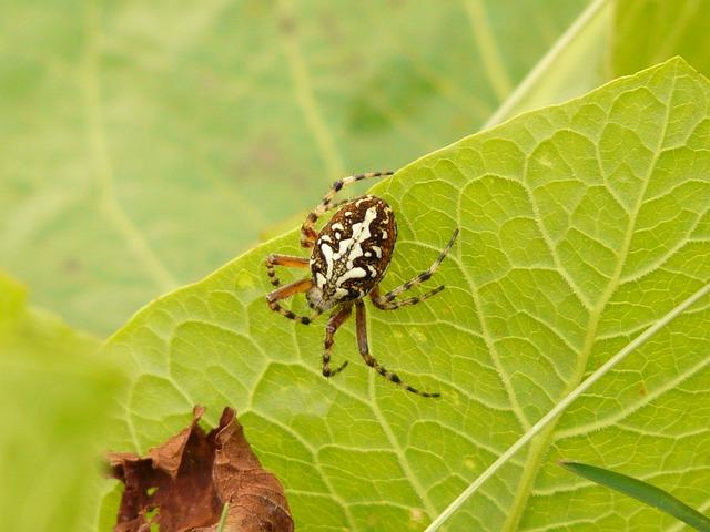 Oakleaf Orb Weavers, Oakleaf Kreuzspinne, Spider, Toxic