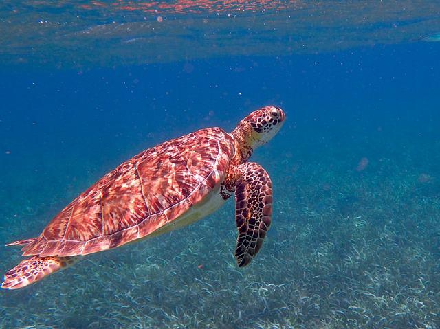 Turtle, Belize, Ocean, Tropical, Sea, Marine, Nature