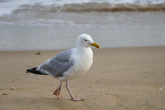 Bird, Sea, Beach, Waters, Sand, Seagull, Coast, Ocean