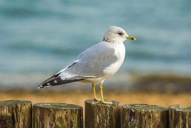 Seagull, Ocean, Coast, Bird, Dorset, England