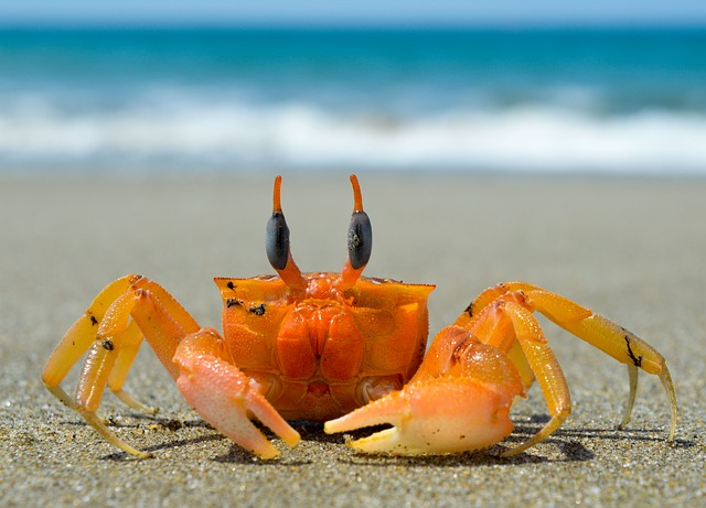 Crustacean, Crab, Sea, Beach, Claw, Ocean, Sand