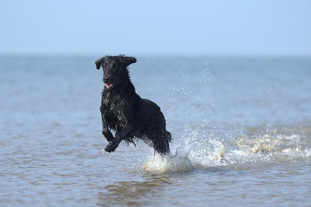 Flatcoated Retriever, Dog, Swimming, Beach, Sea, Ocean