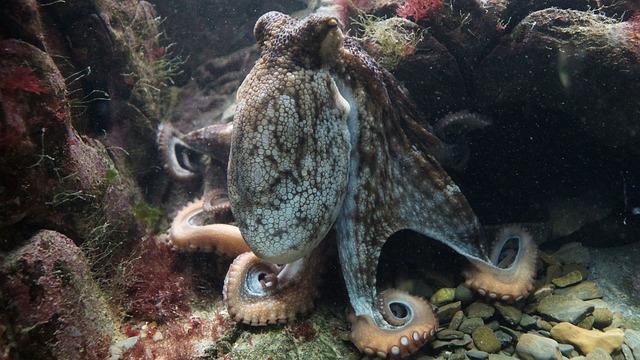 Octopus, Kraken, Octopus Vulgaris, Common Otopus, Ocean