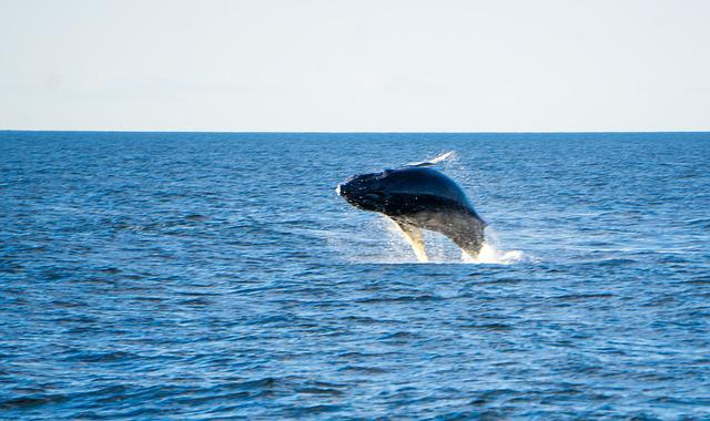 Humpback, Whale, Ocean, Sea, Mammal, Breaching, Tail