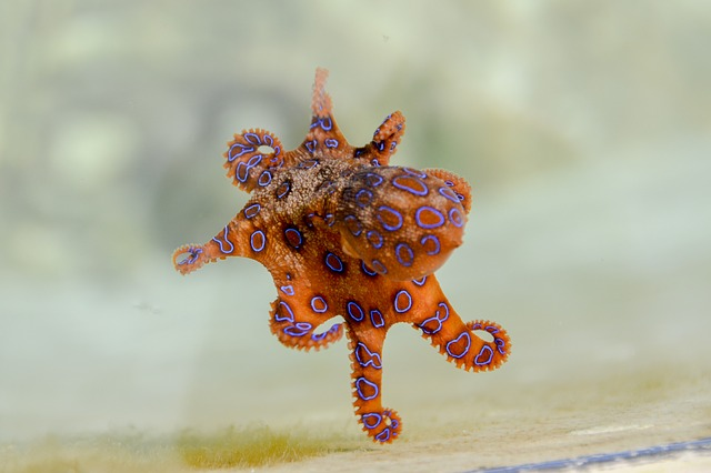 Blue Ringed Octopus, Octopus, Marine, Tentacles