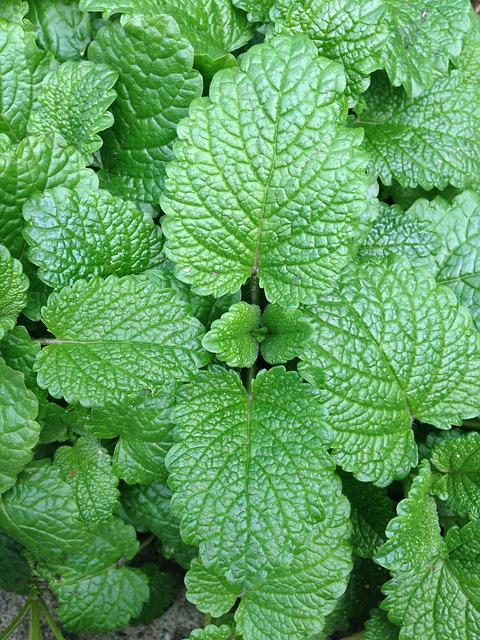 Mint, Vegetable Garden, Leaves, Green, Grass, Odor