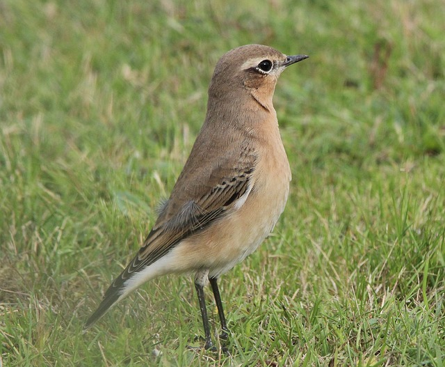 Wheatear, Oenanthe, Perching Birds, Muscicapidae