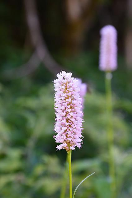 Knotweed, Wild Flowers, Tyrol, Sautens, Oetztal