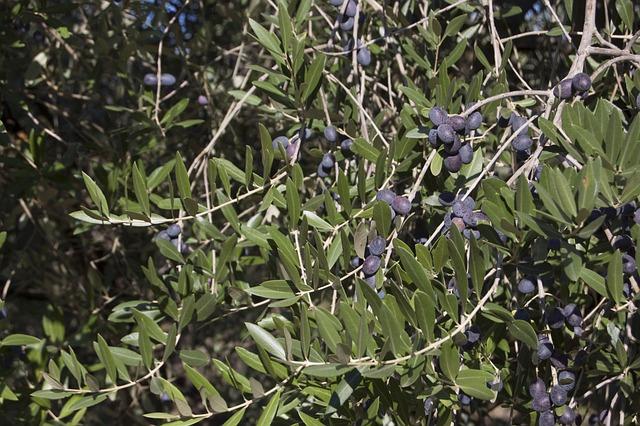 Olive Harvest, Oil, Oliva, Branches, Nature, Green