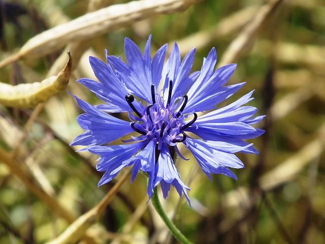 Cornflower, Blue, Oilseed Rape, Blossom, Bloom, Flower