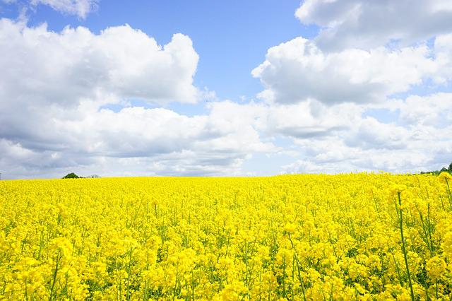 Field Of Rapeseeds, Sky, Clouds, Oilseed Rape