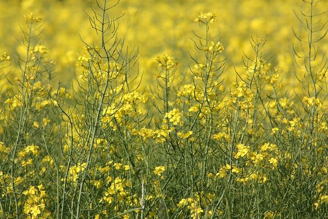 Oilseed Rape, Denmark, Spring, Crop, Yellow, Green