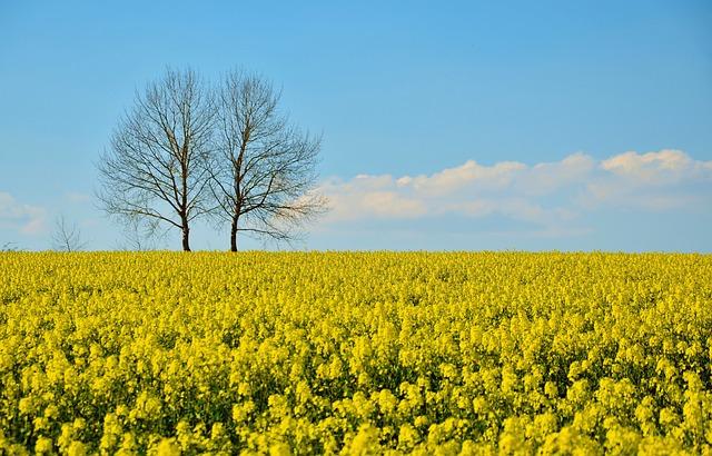 Field Of Rapeseeds, Oilseed Rape, Field, Landscape