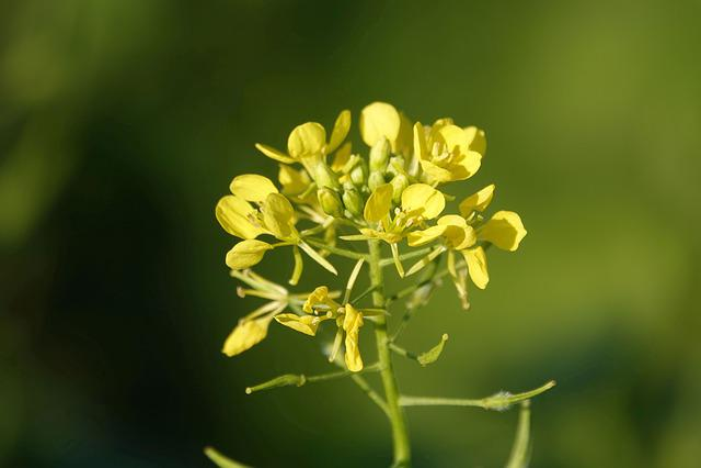 Oilseed Rape, Blossom, Bloom, Yellow, Nature, Flower